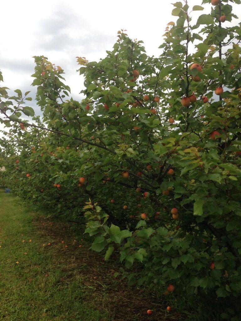 pick cherries lanidale cherry orchard victoria yarra valley